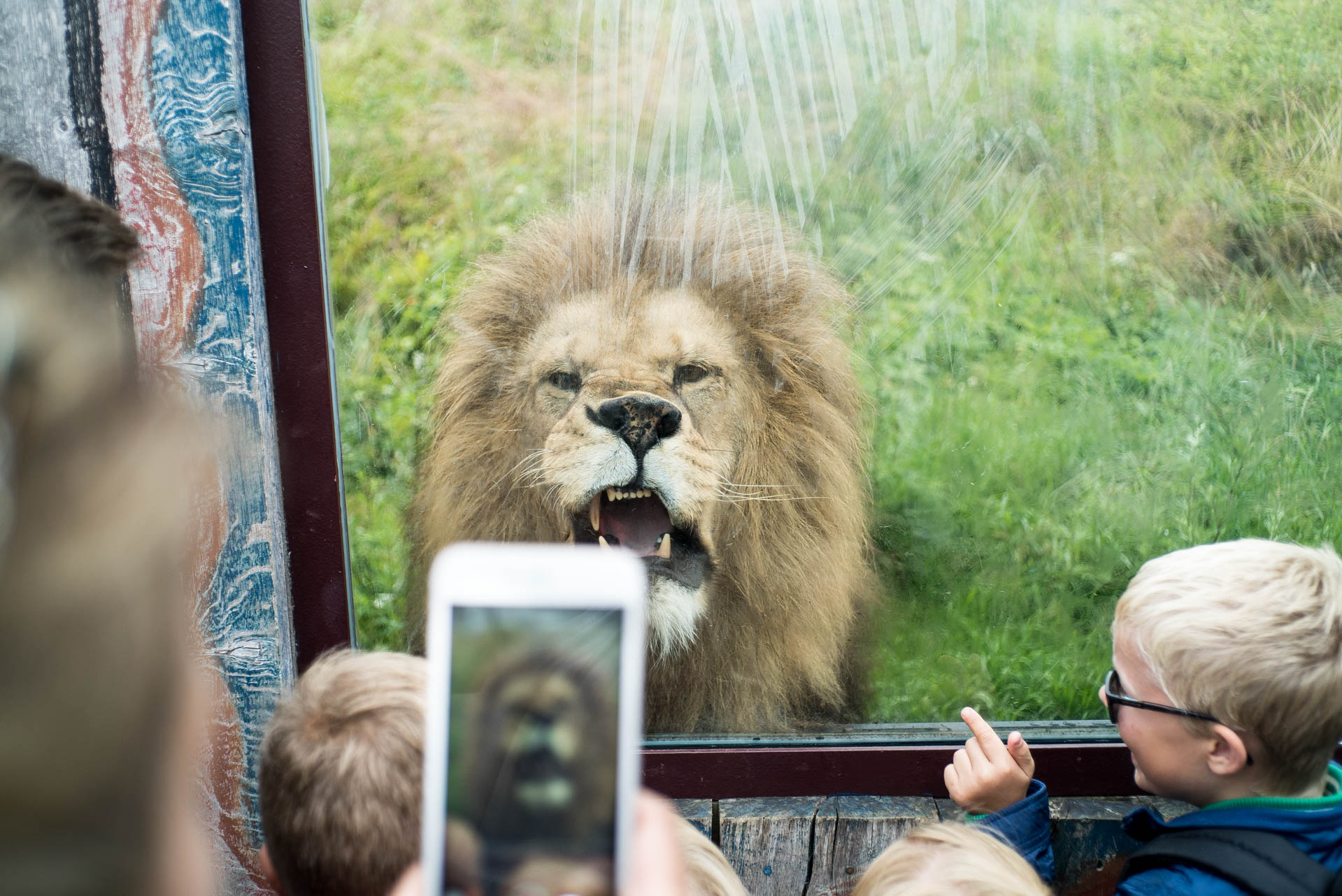 Angry Lion from Kristiansand Zoo - Photo: Stephan Wetaas